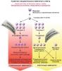 Частые острые респираторные заболевания (ОРЗ)